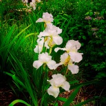 Entertaining Family: Iris